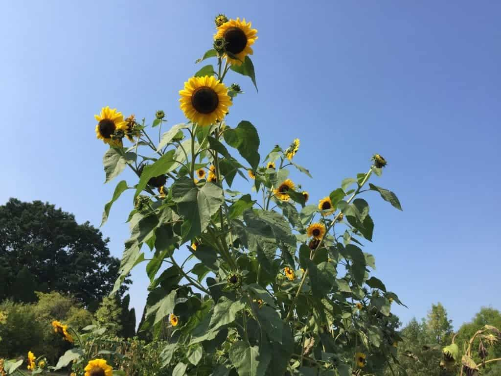 Botanical Garden of the Polish Academy of Sciences in Powsin with children, attractions for kids, sunflowers