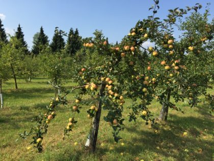 Botanical Garden of the Polish Academy of Sciences in Powsin with children, attractions for kids, apples