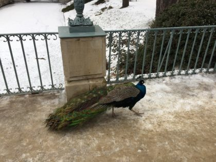 The Royal Lazienki Museum and Park in Warsaw - attractions for kids - peacock