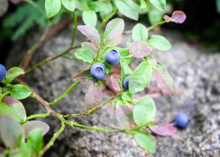 blueberry-2537659_1920