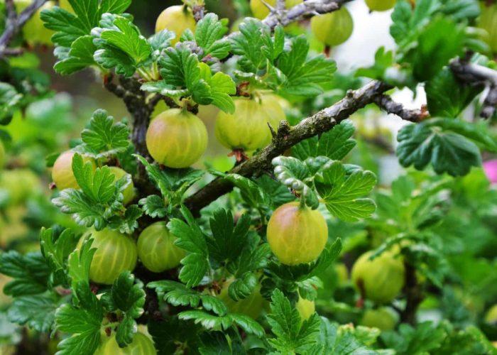 gooseberry-4224625_1920