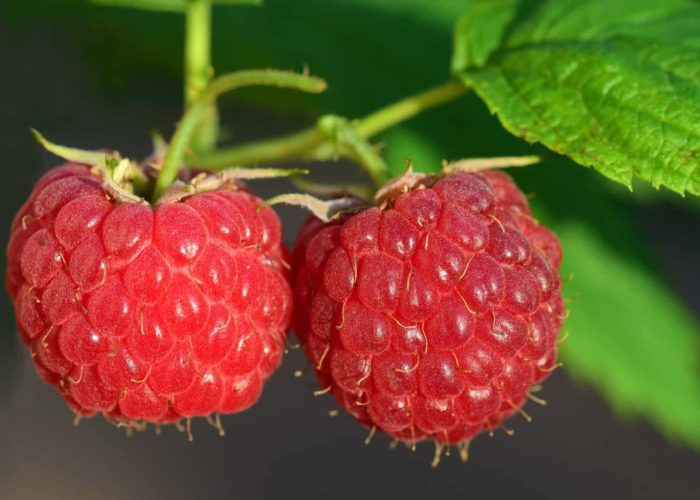raspberry-3454504_1920