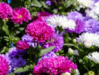 asters-3433847_1920