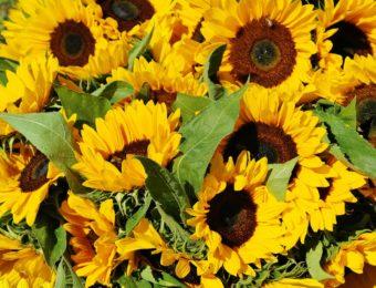 sunflower-1622785_1920