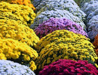 yellow-chrysanthemum-3767561_1920