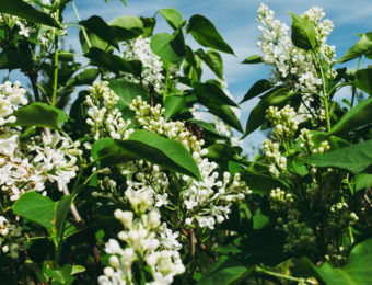 Spring branch of blossoming lilac. White lilac